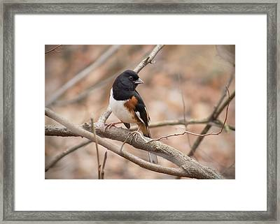 Eastern Towhee - Male Framed Print by Ron Grafe