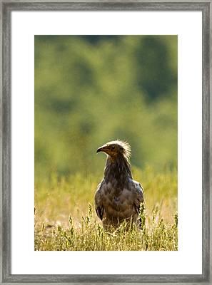 Egyptain Vulture  Framed Print