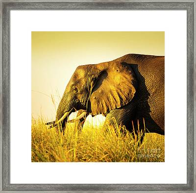 Elephant In Long Grass Framed Print by Tim Hester