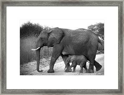 Elephant Walk Black And White  Framed Print