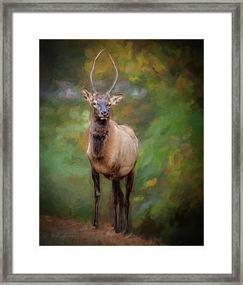 Elk Stare Framed Print