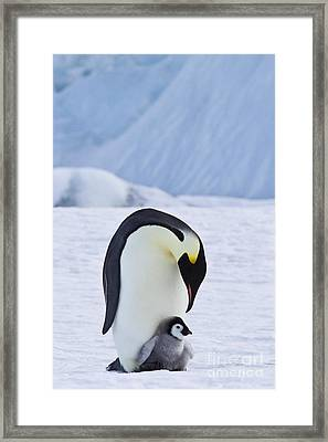 Emperor Penguin And Chick Framed Print by Jean-Louis Klein & Marie-Luce Hubert