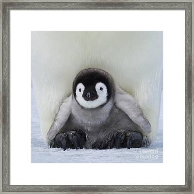 Emperor Penguin Chick Framed Print