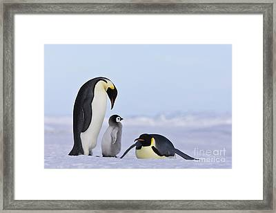 Emperor Penguins And Chick Framed Print by Jean-Louis Klein & Marie-Luce Hubert