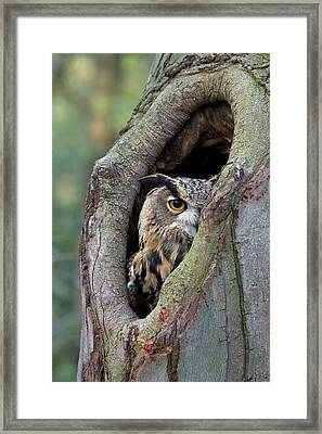 Eurasian Eagle-owl Bubo Bubo Looking Framed Print by Rob Reijnen