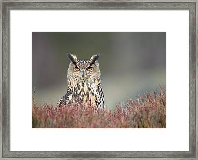 European Eagle Owl Framed Print by Nigel Spencer