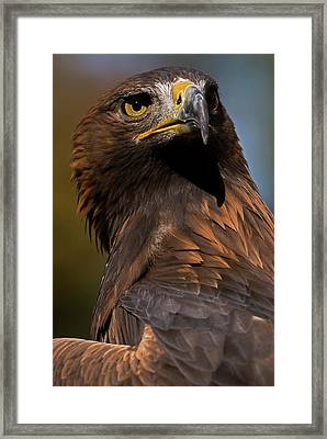 European Golden Eagle Framed Print by JT Lewis