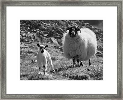 Ewe And Lamb No2 Framed Print by John Cox