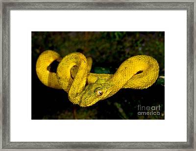 Eyelash Palm Pitviper Framed Print by Dant� Fenolio