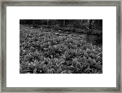 False Helebore Framed Print