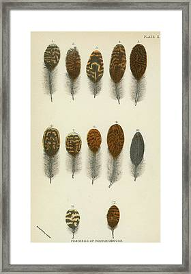 Feathers Of Scotch Grouse Framed Print by English School