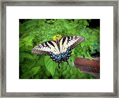 Female Eastern Tiger Swallowtail  Framed Print