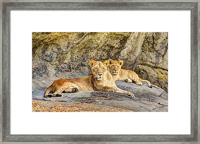 Female Lion And Cub Hdr Framed Print by Marv Vandehey