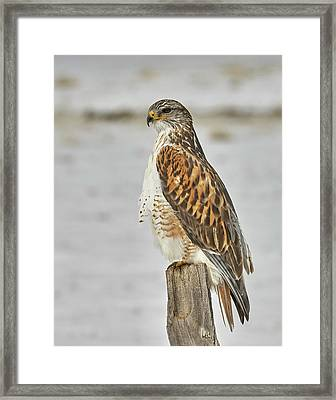 Ferruginous Hawk Framed Print by Doug Herr