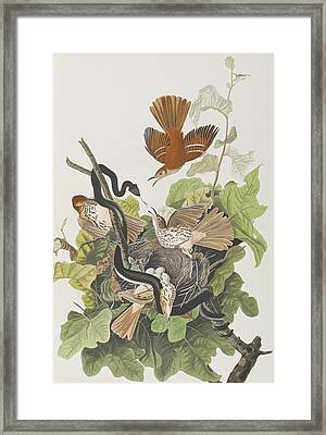 Ferruginous Thrush Framed Print by John James Audubon