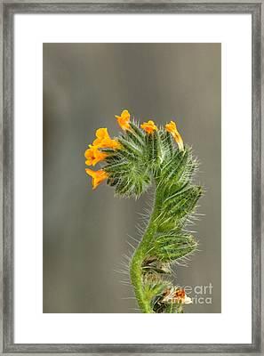 Fiddleneck Flowers Framed Print by Inga Spence