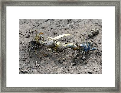 Fiddler Crab Fight Framed Print
