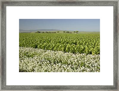 Field Of Organic Lettuce Framed Print by Inga Spence