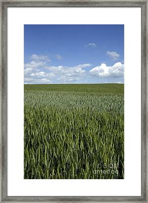 Field Of Wheat Framed Print by Bernard Jaubert