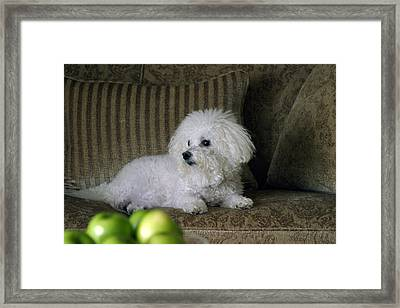 Fifi The Bichon Frise  Framed Print by Michael Ledray