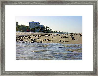 Fighting Conchs At Lowdermilk Park Beach In Naples, Fl Framed Print