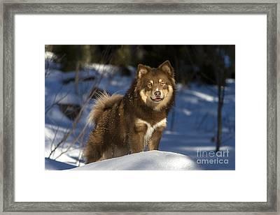 Finnish Lapphund Framed Print by Jean-Louis Klein & Marie-Luce Hubert