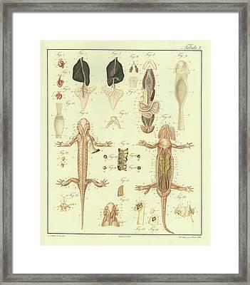 Fire Salamander Anatomy Framed Print