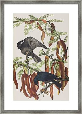 Fish Crow Framed Print by John James Audubon