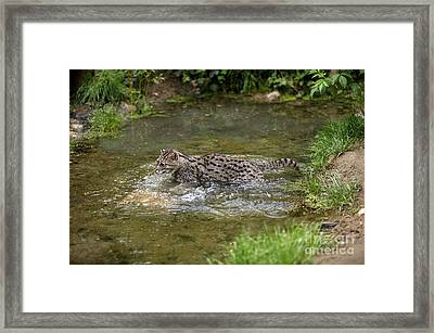 Fishing Cat Prionailurus Viverrinus Framed Print by Gerard Lacz