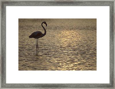 Flamingo Standing In Lake In France By The Light Of The Setting Sun Framed Print by Ronald Jansen