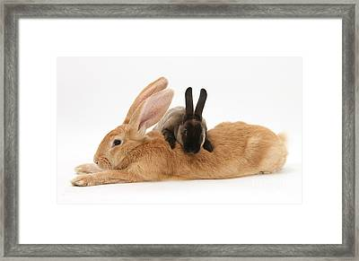 Flemish Giant Rabbit With Sooty Rex Framed Print by Mark Taylor