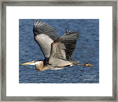 Flight Of The Great Blue Heron Framed Print