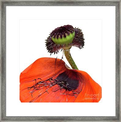 Flower Poppy In Studio Framed Print by Bernard Jaubert
