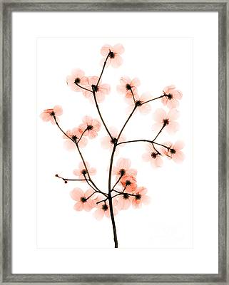 Flowering Dogwood X-ray Framed Print