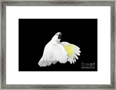 Flying Crested Cockatoo Alba, Umbrella, Indonesia, Isolated On Black Background Framed Print by Sergey Taran