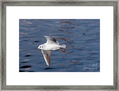 Flying Gull Above Water Framed Print by Michal Boubin