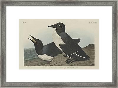 Foolish Guillemot Framed Print by Rob Dreyer