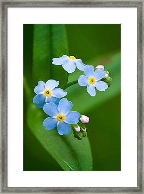 Forget-me-not Framed Print by Yuri Peress