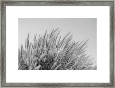 Foxtails On A Hill In Black And White Framed Print