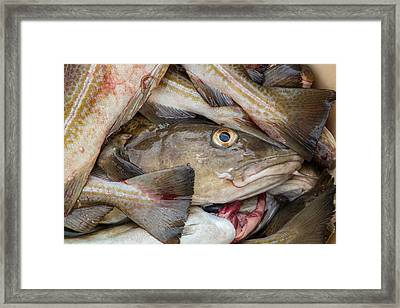 Fresh Cod, Iceland Framed Print by Panoramic Images