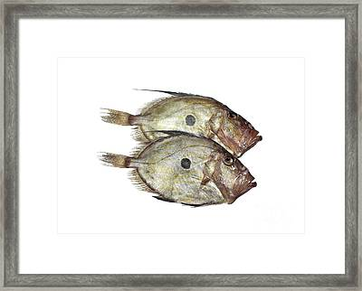 Fresh John Dory Zeus Faber Framed Print by Gerard Lacz