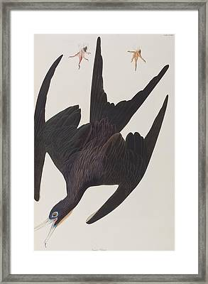Frigate Pelican Framed Print by John James Audubon