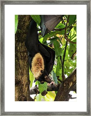 Fruit Bat Framed Print