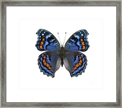 Gaudy Commodore Butterfly Framed Print by Lawrence Lawry