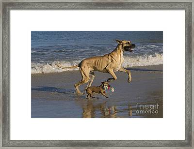 Giant And Tiny Dogs Framed Print