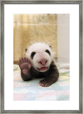 Giant Panda Ailuropoda Melanoleuca Cub Framed Print by Katherine Feng