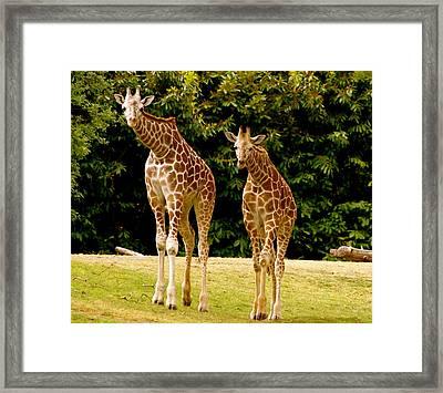 Giraffe Family Framed Print by Sonja Anderson
