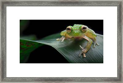 glass frog Amazon forest Framed Print