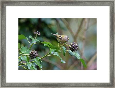 Goldcrest Framed Print by Matt Malloy