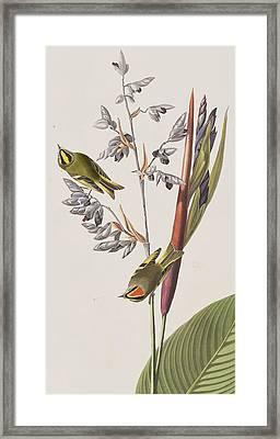 Golden-crested Wren Framed Print by John James Audubon